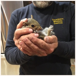 Humane squirrel removal service in Virginia